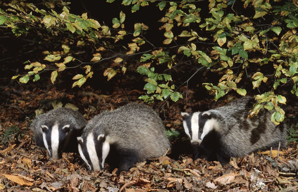 Three 10 month old Badgers {Meles meles} browsing in leaf litter at night, Derbyshire, UK
