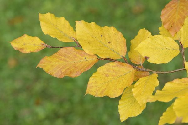 Beech leaves (Fagus sylvatica) in autumn, Wiltshire, UK, September
