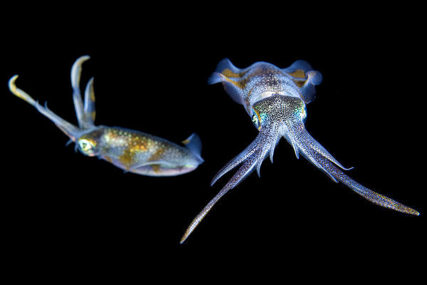 Bigfin reef squid (Sepioteuthis lessoniana) at night. Bitung, North Sulawesi, Indonesia