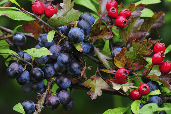 Blackthorn (Prunus spinosa) sloes and Hawthorn berries (Crataegus monogyna) ripening in tangled hedgerow, Dorset. September