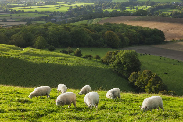 Chalk downland landscape with sheep grazing, Cranborne Chase, Wiltshire, England, UK, September 2011