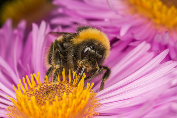 Close up of Buff-tailed Bumblebee (Bombus terrestris) feeding at a flower (Aster sp), Monmouthshire, Wales, UK. September