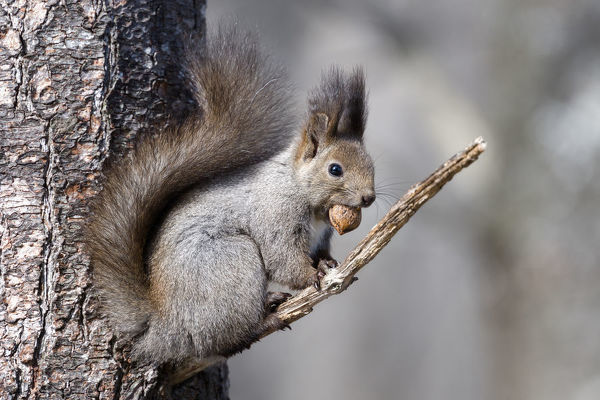 Eurasian red squirrel (Sciurus vulgaris orientis) sitting on branch with nut in mouth