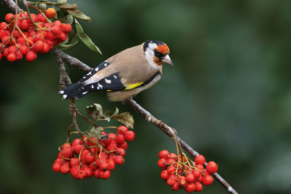 Goldfinch (Carduelis carduelis) perched on Rowan tree branch, Cheshire, UK, September