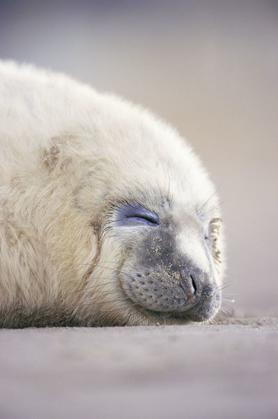 Grey seal pup sleeping {Halichoerus grypus} Lincolnshire, UK