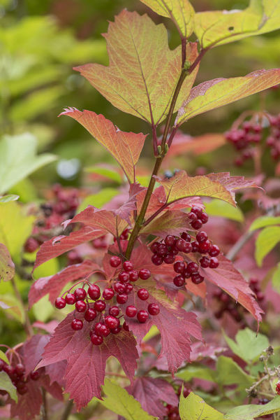 Guelder Rose (Viburnum opulus) berries in autumn, Surrey, England, UK, September