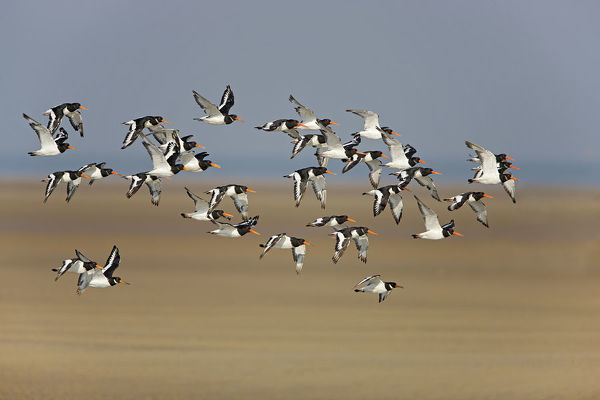 Oystercatcher (Haematopus ostralegus) flock in flight, Liverpool Bay, Lancashire, UK, September