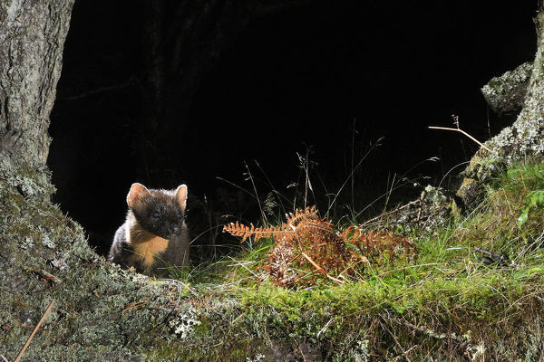 Pine Marten (Martes martes) foraging at night in mixed coniferous and birch woodland in the area where live traps were set for a reintroduction project to Wales by the Vincent Wildlife Trust, Scottish Highlands, UK, September 2016