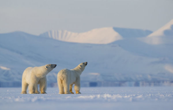 Polar bear (Ursus maritimus) male female pair looking upwards, snow covered hills in background