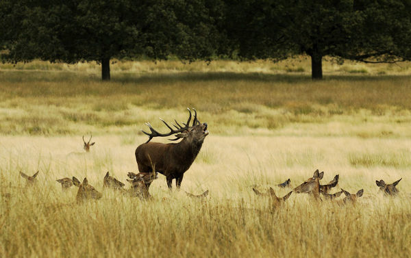 Red deer (Cervus elaphus) stag bellowing, surrounded by hinds, Surrey, UK, September