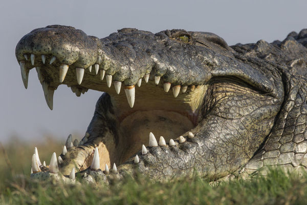 RF - Nile crocodile (Crocodylus niloticus head close up with jaws open, Chobe river, Botswana