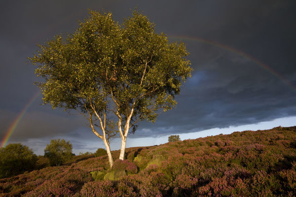 Silver Birch {Betula pendula / verrucosa} on heather moorland with stormy sky and rainbow. Stanton Moor, Peak District National Park, Derbyshire, England. September 2008
