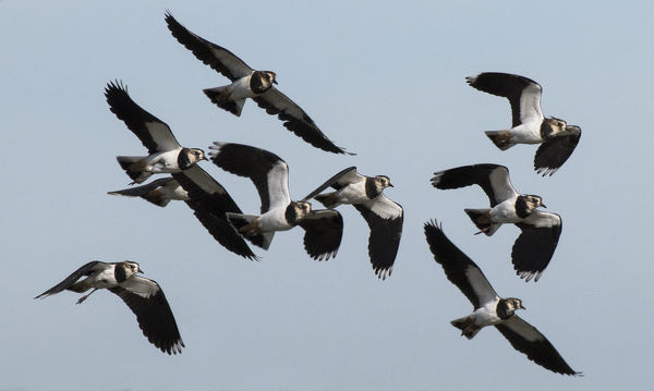 Small flock of Lapwings (Vanellus vanellus) flying in to rest after migration. Cresswell Pond, Druridge Bay, Northumberland, England, UK, September