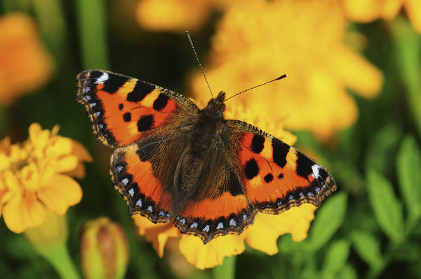 Small tortoiseshell butterfly (Aglais urticae) on French marigold (Tagetes patula) flowers. September, Dorset UK