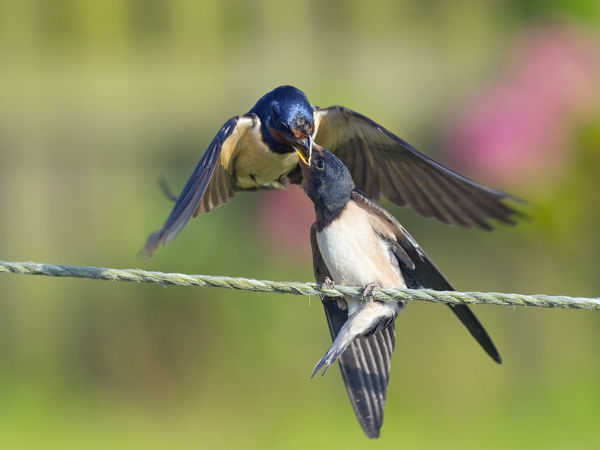 Swallow (Hirundo rustica) feeding young on fence, Norfolk, England, UK, September