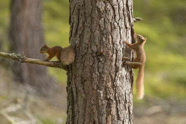Two young Red squirrels (Sciurus vulgaris) chasing each other around pine trunk, Scotland, UK, September