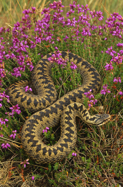 Adder {Vipera berus} amongst Heather flowers, UK