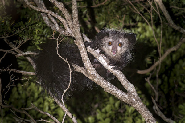 Adult Aye-aye (Daubentonia madagascariensis) active in forest canopy at night. Dry deciduous forest near Andranotsimaty. Daraina, northern Madagascar. Critically Endangered
