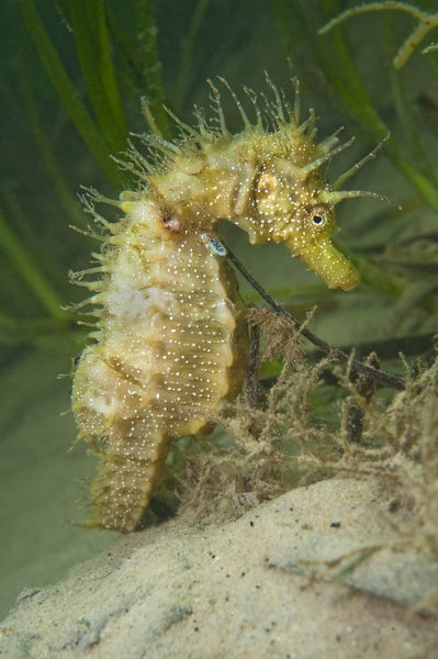 An adult female Spiny Seahorse (Hippocampus guttulatus) in a meadow of seagrass (Zostera marina)