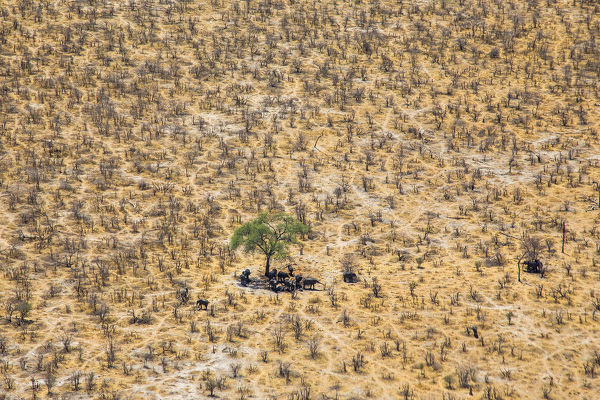 Aerial view of African elephants (Loxodonta africana) looking for the shade under trees on a very hot day, Northern Botswana