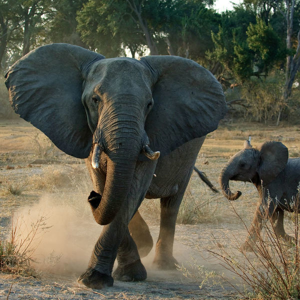 African elephant charging (Loxodonta africana) female with young calf, Okavango Delta