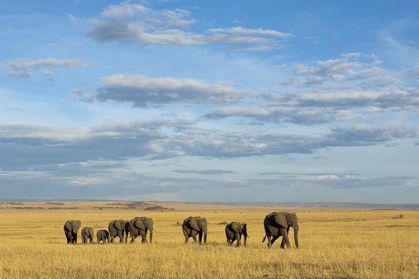 African elephant (Loxodonta africana) herd walking in the plains during the dry season, Masai-Mara Game Reserve, Kenya. October