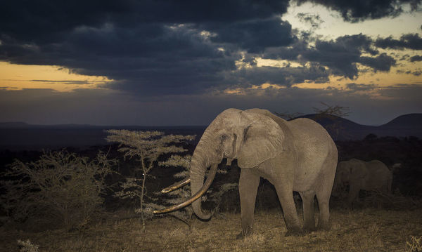 African elephant (Loxodonta africana) bull 'One Ton' with massive tusks at dusk, with another behind. Chyulu Hills, Kenya
