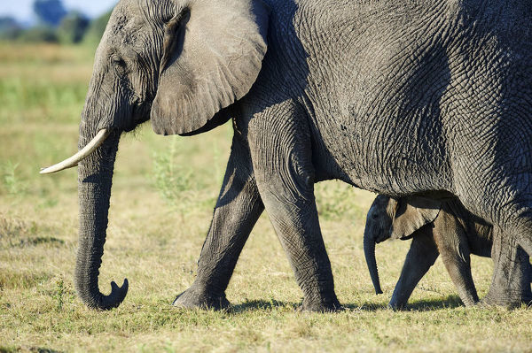 African elephant mother and young calf (Loxodonta africana), Duba Plains, Okavango Delta, Botswana, Southern Africa