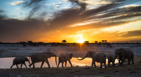 African elephants (Loxodonta africana) small herd at waterhole at sunset, Etosha National Park, Namibia