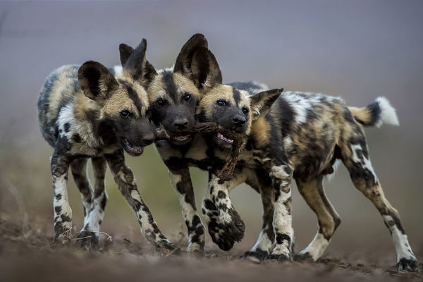 African wild dogs (Lycaon pictus) juveniles playing with the leg of an impala, trying to drag it in three different directions. Mkuze, South Africa