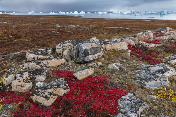 Alpine bearberry (Arctous alpina) on tundra in autumn and boulderrs at Sydkapp (South Cape)