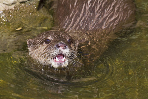 Asian / Oriental short-clawed otter (Aonyx cinerea) looking out of water with mouth open, Captive, Vulnerable species