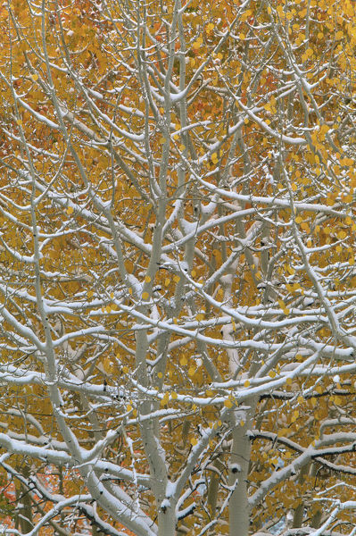 Aspen tree {Populus tremula} after the first snow of winter, Colorado, USA