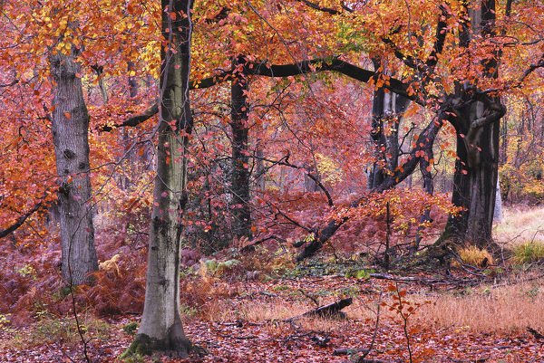 Autumnal Beech (Fagus) trees, Savernake Forest, Wiltshire, UK, November 2012