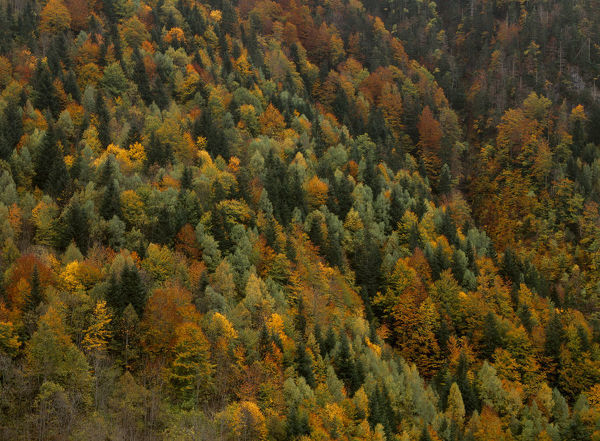 Autumnal trees in the Valley of Varrados, Val d'Aran, Catalonia, Pyrenees
