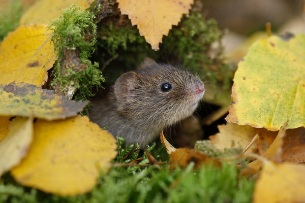 Bank vole {Clethrionomys glareolus} among autumn birch leaves, Peak District NP, Derbyshire, UK