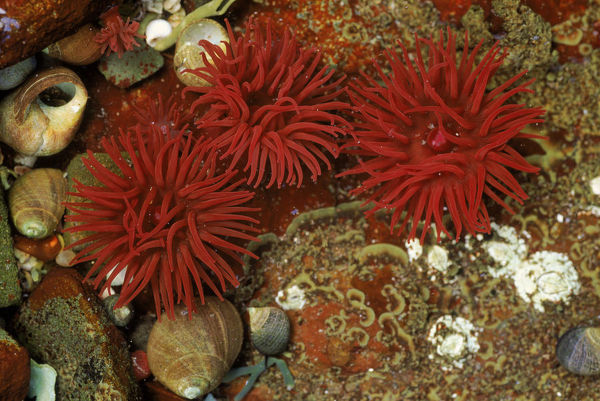 Beadlet anemone (Actinia equina) with periwinkles. Mull, Scotland, UK, Europe