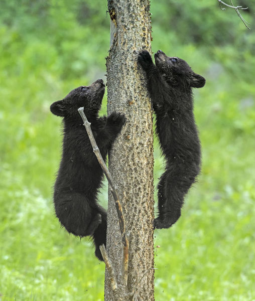Black bear (Ursus americanus), two cubs playing, climbing up tree trunk. Yellowstone National Park