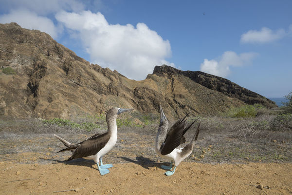 Blue-footed booby (Sula nebouxii), pair in courtship display. Punta Pitt, San Cristobal Island