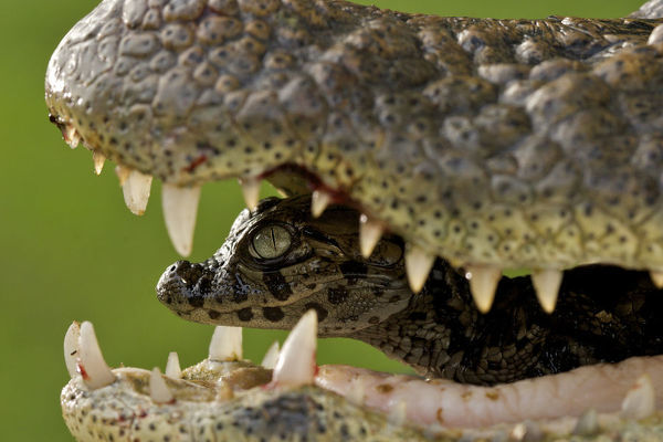 Broad snouted caiman (Caiman latirostris) baby in mothers mouth being carried from the nest, Sante Fe, Argentina, February