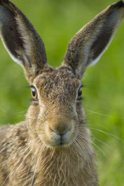 Brown hare (Lepus europaeus) close-up portrait of adult, Scotland, UK. August