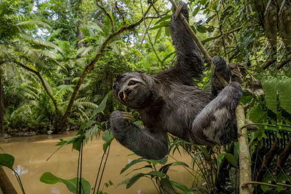 brown throated three toed sloth bradypus variegatus hanging from