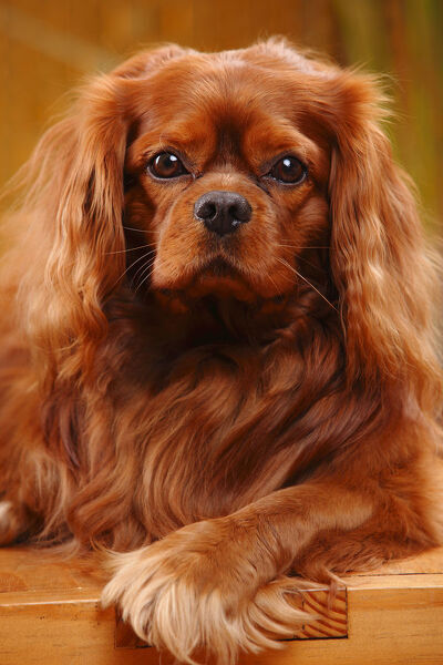 Cavalier King Charles Spaniel, male with ruby coat