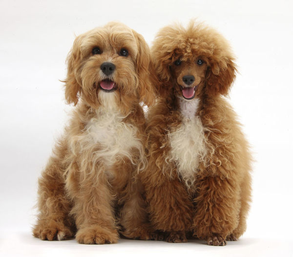 Cavalier King Charles Spaniel X Poodle