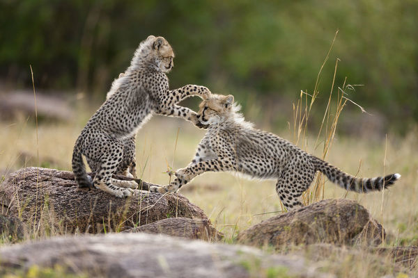 Cheetah (Acinonyx jubatus) cubs playing, Masai-Mara Game Reserve, Kenya. Vulnerable species
