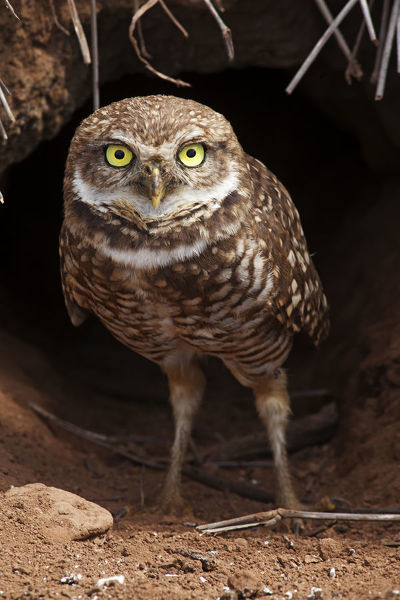 Clarion Burrowing Owl (Athene cunicularia rostrata) at burrow entrance, Clarion Island