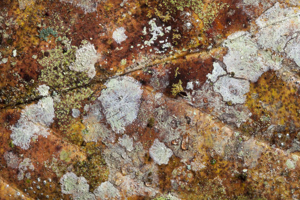 Close up of decaying leaf from rainforest floor, showing lichens and moulds. Danum Valley