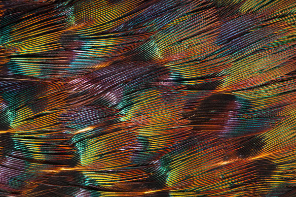 Close up of feathers of cock Pheasant (Phasianus colchicus)