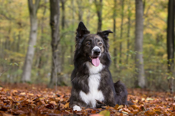 Collie crossbreed rescue dog in beech woodland. Micheldever Woods, Hampshire, UK