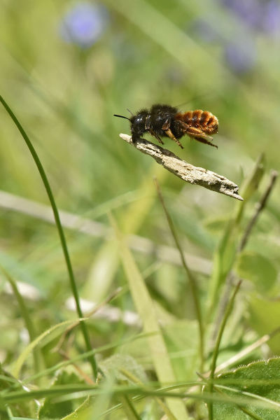 Two coloured mason bee (Osmia bicolor) bee that nests in old snail shells and then carries bits of twig or vegetation to cover the shell, Buckinghamshire, England, UK, June